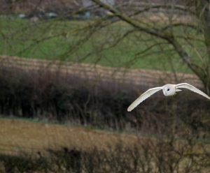 Easter Sunday - time for a barn owl
